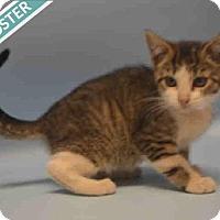 Adopt A Pet :: POPCORN - Brooklyn, NY