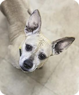 French Bulldog/Dachshund Mix Dog for adoption in Chicago, Illinois - Bailey 6