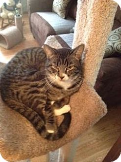 Domestic Shorthair Cat for adoption in Fenton, Missouri - Cheyenne