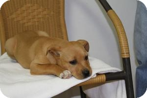 Labrador Retriever/Boxer Mix Puppy for adoption in Marlton, New Jersey - Rosie