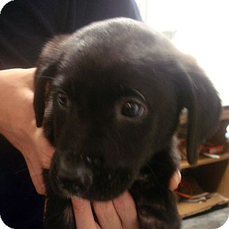 Labrador Retriever Mix Puppy for adoption in baltimore, Maryland - Ingrid
