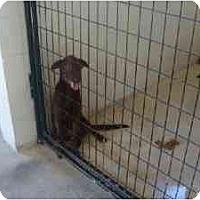 Adopt A Pet :: Missy - Alexandria, VA