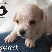 Adopt A Pet :: SHAMROCK - Hurricane, UT