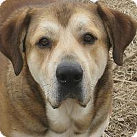 Adopt A Pet :: Tank - Harrisburgh, PA