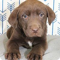 Adopt A Pet :: Earl Grey - Starkville, MS