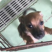 Adopt A Pet :: Tootsie - Gadsden, AL