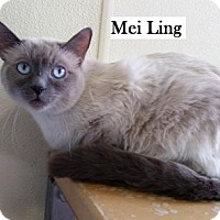 Adopt A Pet :: Mei Ling - Lakewood, CO