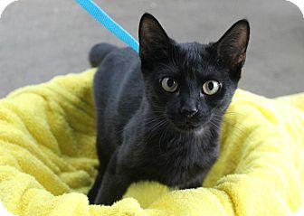 Domestic Shorthair Kitten for adoption in Ocean Springs, Mississippi - Sphinx