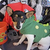 Rat Terrier Mix Dog for adoption in San Antonio, Texas - Flaco