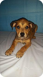 German Shepherd Dog/Labrador Retriever Mix Puppy for adoption in Baltimore, Maryland - Brice