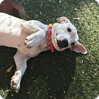 Adopt A Pet :: Cha Cha - Pittsburg, CA