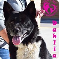 Adopt A Pet :: Dahlia - Newport, KY