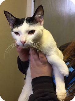 Domestic Shorthair Cat for adoption in Richland Hills, Texas - Ashlyn