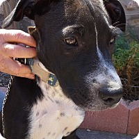 Pit Bull Terrier Mix Puppy for adoption in El Paso, Texas - Hatch
