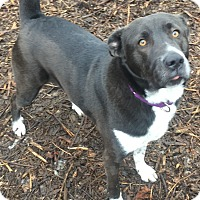 American Pit Bull Terrier Mix Dog for adoption in South Park, Pennsylvania - Luna