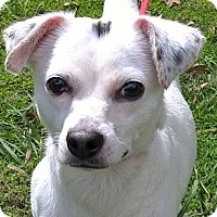 Adopt A Pet :: Dottie - Orlando, FL