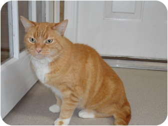 Domestic Shorthair Cat for adoption in Kingston, Washington - Cheddar
