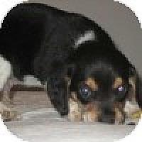 Adopt A Pet :: Hairy - Novi, MI