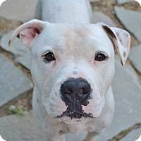 Adopt A Pet :: Jax - Reisterstown, MD