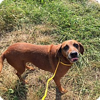 Adopt A Pet :: Veda-URGENT - Providence, RI