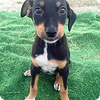 Adopt A Pet :: Cottage Pup - Condo - Adopted! - San Diego, CA