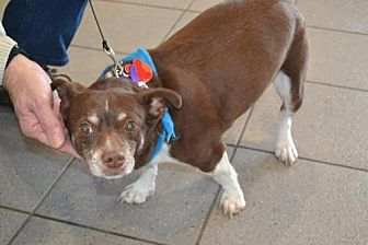 Dachshund/Chihuahua Mix Dog for adoption in Brighton, Tennessee - Rudy (Fostered in New England)