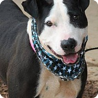 Pit Bull Terrier/Bull Terrier Mix Dog for adoption in Greenville, South Carolina - Daisy