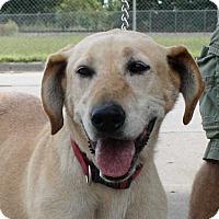 Labrador Retriever Dog for adoption in Fort Madison, Iowa - Mahana