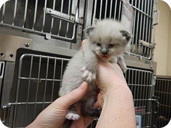 Domestic Shorthair Kitten for adoption in Pikeville, Kentucky - Ginger