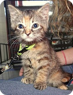Domestic Shorthair Kitten for adoption in Fairmont, West Virginia - Carrie