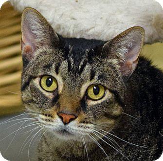 Domestic Shorthair Cat for adoption in Norwalk, Connecticut - Merceline