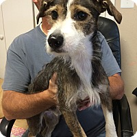 Wirehaired Fox Terrier Mix Dog for adoption in Metairie, Louisiana - BUDDY