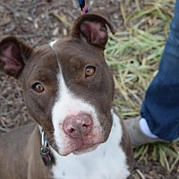 Pit Bull Terrier Mix Dog for adoption in Dallas, Georgia - Riblett - Courtesy