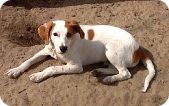 Foxhound Mix Dog for adoption in Holly Springs, North Carolina - Antony aka Ant Man