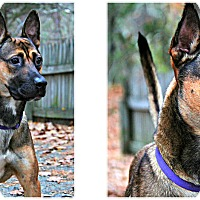 Shepherd (Unknown Type) Mix Dog for adoption in Forked River, New Jersey - Chiba