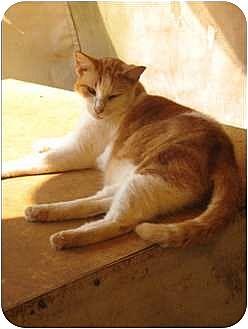 Domestic Shorthair Cat for adoption in Makawao, Hawaii - Peanut