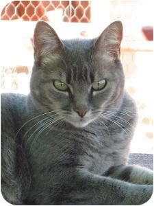 Domestic Shorthair Cat for adoption in Las Cruces, New Mexico - Ashley