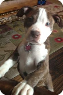 Pit Bull Terrier Mix Puppy for adoption in Shirley, New York - Bailey