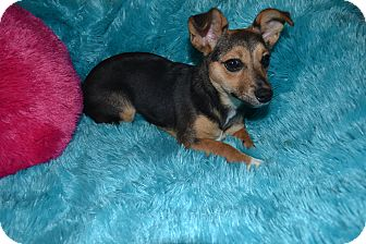 Chihuahua/Terrier (Unknown Type, Small) Mix Puppy for adoption in Hagerstown, Maryland - Sabrina