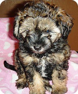 Tasha | Adopted Puppy | Santa Ana, CA | Lhasa Apso/Yorkie ...
