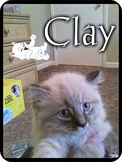 Himalayan Cat for adoption in Washington, D.C. - Clay