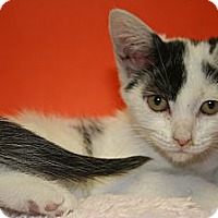 Adopt A Pet :: TRUDY - SILVER SPRING, MD