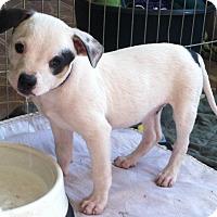 Adopt A Pet :: Danny Boy - Phoenix, AZ