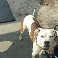 American Bulldog/Boxer Mix Dog for adoption in Barnwell, South Carolina - Angel