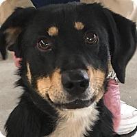 Adopt A Pet :: TINK - Cadiz, OH