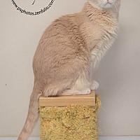 American Shorthair Cat for adoption in Belton, Missouri - Austin