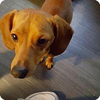 Dachshund Mix Dog for adoption in Aurora, Colorado - Vernon