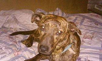 Dachshund/American Pit Bull Terrier Mix Dog for adoption in Beeville, Texas - Sugar
