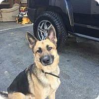 Adopt A Pet :: Ilsa - Morrisville, NC