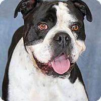 English Bulldog Mix Dog for adoption in Encinitas, California - Kobe